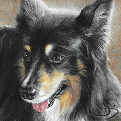 Collie Dog Drawing