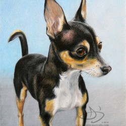 Chihuahua Dog Portrait in Pencil