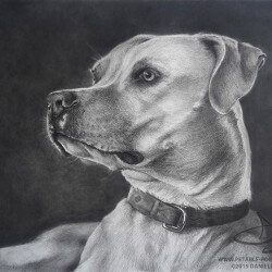 Pit Bull Dog Drawing Portrait