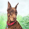 Portrait drawing of a Doberman Pinscer