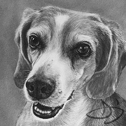 Beagle Portrait of Weston