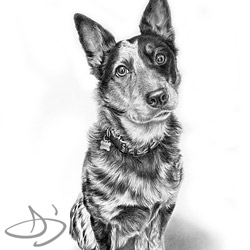 Blue heeler portrait from Manhattan, KS