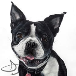 Boston Terrier  Drawing from Texas