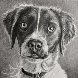 Brittany Spaniel Dog Portrait Drawing from Steamboat Springs, Colorado