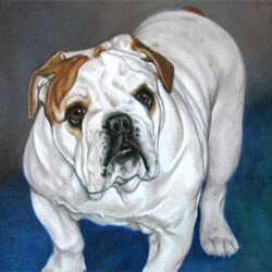 Bulldog Drawing in Colored Pencil