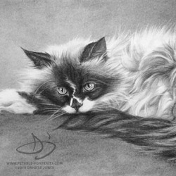 cat drawing of Long Haired Burmese Cat named Tootsie