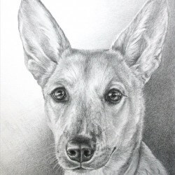 American Dingo Dog Drawing in Pencil
