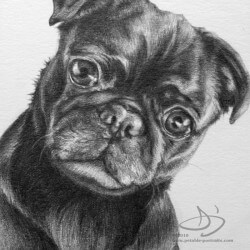 Pug Dog Portrait in Pencil