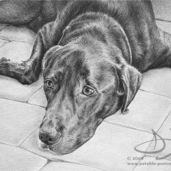 Chocolate Lab drawn in pencil