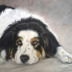 Austrailian Shepherd Dog Drawing Portrait
