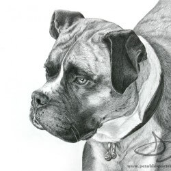 Boxer Dog Drawing in Pencil