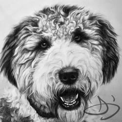 Labradoodle Dog Portrait Drawing