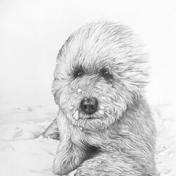 Labradoodle Dog Drawing Portrait