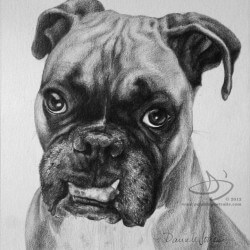 Boxer Dog Portrait in Pencil