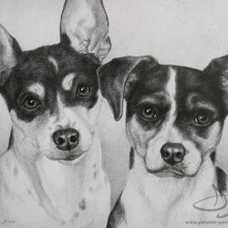 Rat Terrier Dog Portrait in Pencil