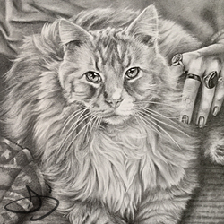Portrait drawing of a Maine Coon