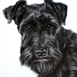 Black Dog Drawing - Miniature Schnauzer