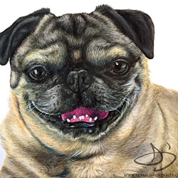 Pug Drawing in colored pencil