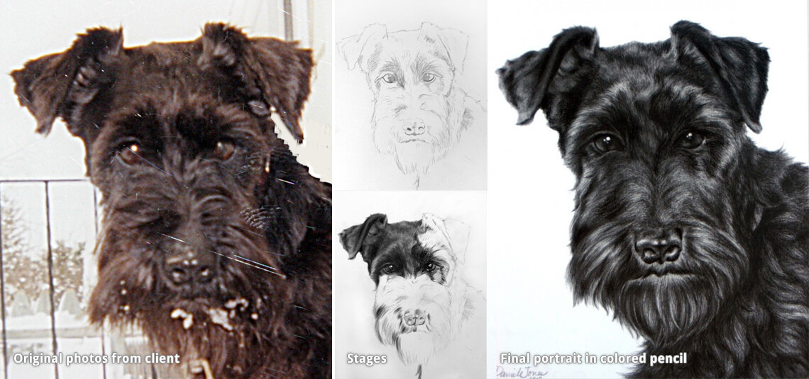 pet portrait drawing of a black dog miniature schnauzer
