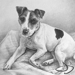 Jack Russell Portrait in Pencil