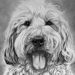 dog drawing of a sheepdog
