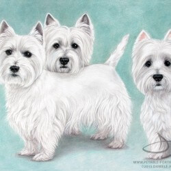Westie Dog Drawing Portraits