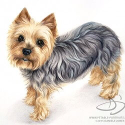Yorkie Dog Drawing Portrait
