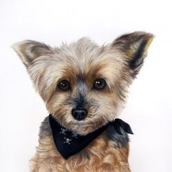 Yorkshire Terrier Drawing Portrait