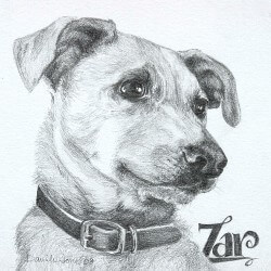 Red Heeler Drawing in Pencil